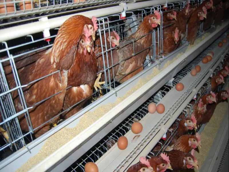 a-type-chicken-cages-system4.jpg